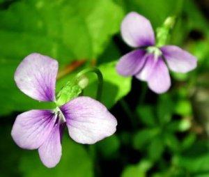 wisconsin violet